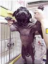 モニター犬のパグ